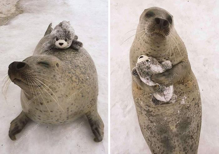 When A Seal At Mombetsu Land In Japan Was Given A Stuffed, Mini Version Of Itself, It Hugged The Toy Close To Its Heart & Gave It A Piggyback Ride